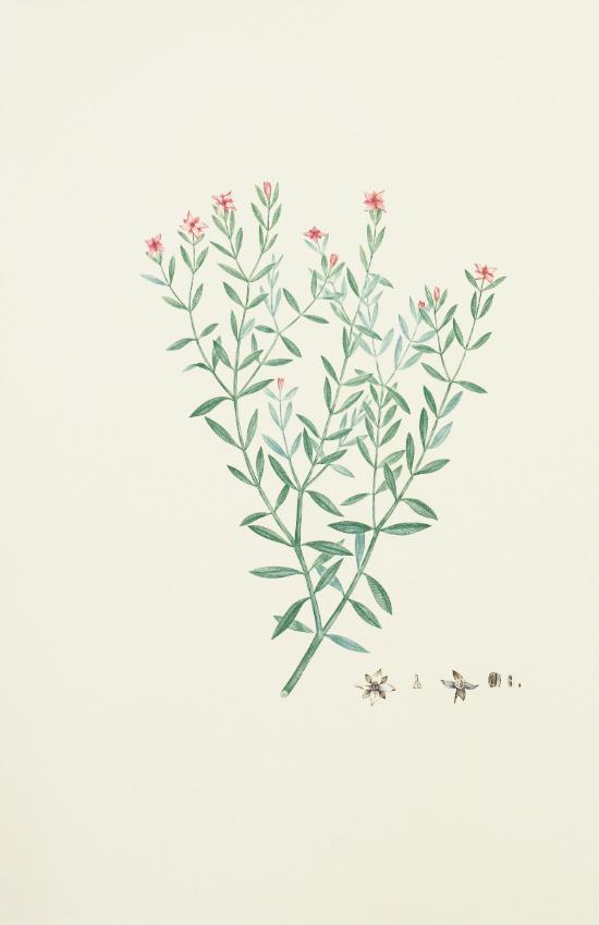 Australia, Botany Bay: Boronia Parviflora