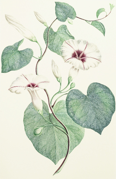 Tahiti, Society Islands: Ipomoea Illustris