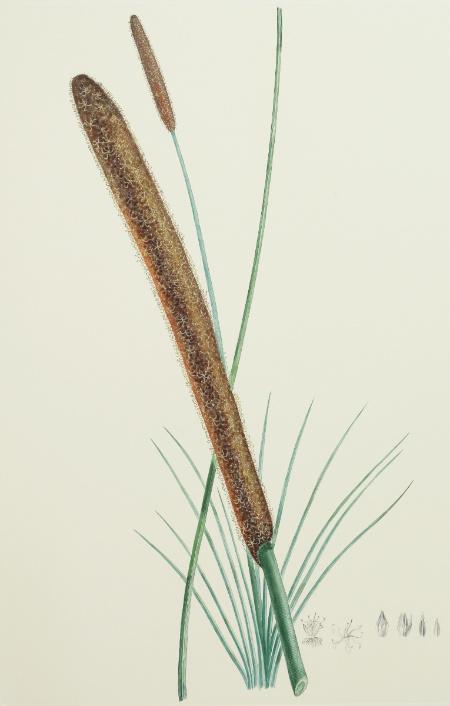Australia, Endeavour River: Xanthorrhoea Resinosa