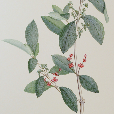 Joseph Banks (1743-1820) – Florilegium